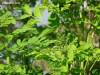 Kỹ thuật gieo ươm và chăm sóc cây Chùm ngây