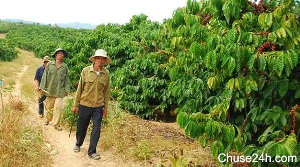 Biện pháp hạn chế nạn ăn cắp cà phê vào vụ thu hoạch