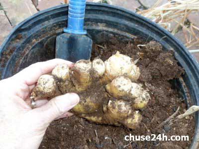 Cách trồng Gừng tại nhà đơn giản