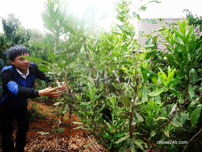 Cần phải cân nhắc trước khi trồng cây mắc ca