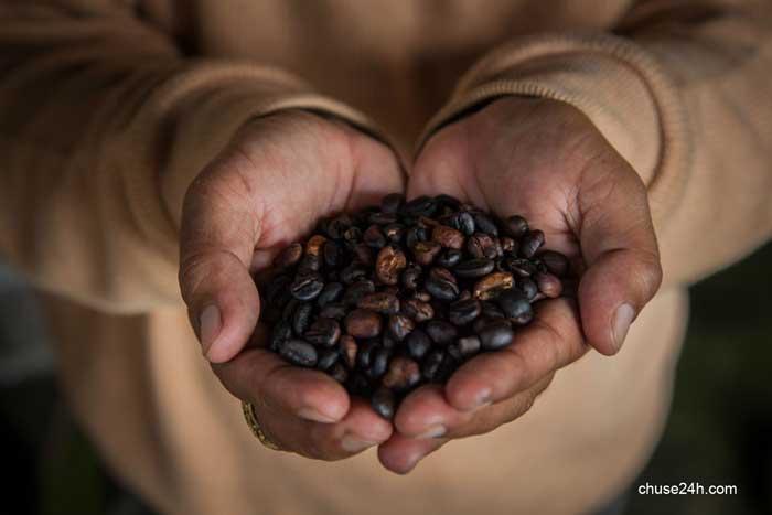 Giá cà phê Gia Lai tiếp tục giảm mạnh xuống 34,0 triệu đồng/tấn