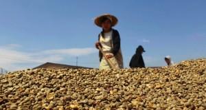 Giá cà phê tiếp tục giảm mạnh xuống 35,0 triệu đồng/tấn