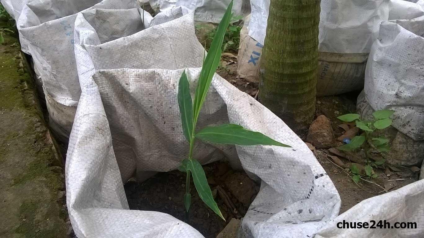 Kỹ thuật chọn giống, làm đất và bón phân cho cây gừng trong bao