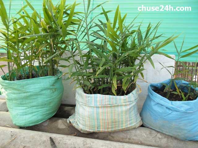 Lâm Đồng: Mô hình trồng gừng trong bao phát triển