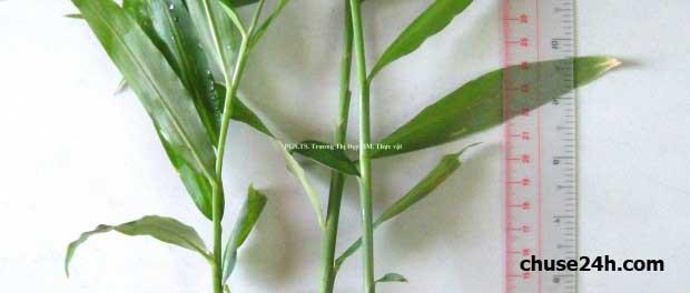 Nghệ An: Mô hình trồng Gừng Dé dưới tán cây