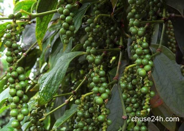 Quy trình chăm sóc cây tiêu phục hồi vườn và phòng trừ dịch hại