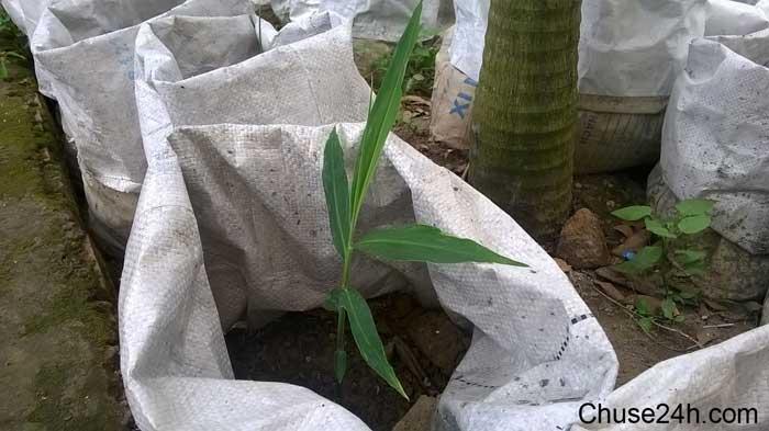 Trồng gừng trong bao hay trồng dưới đất hiệu quả hơn?
