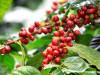 Giá cà phê Gia Lai đảo chiều tăng lên 37,0 triệu đồng/tấn