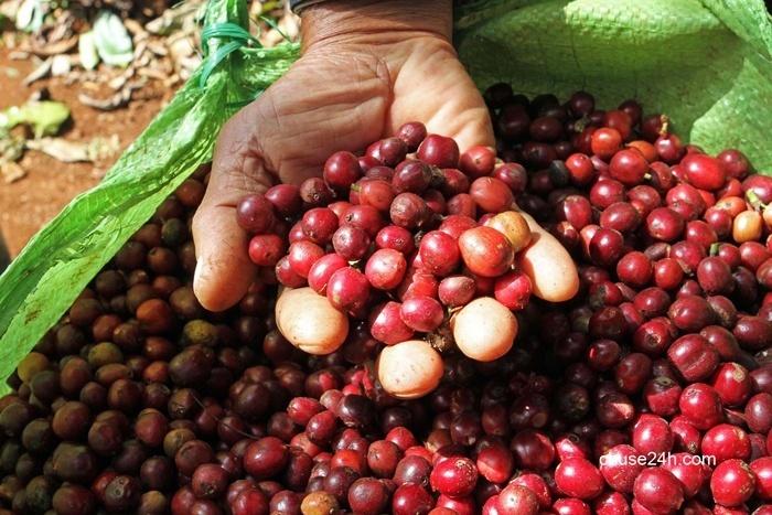 Giá cà phê Gia Lai tăng lên 37,2 triệu đồng/tấn