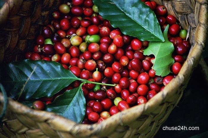 Giá cà phê Gia Lai tiếp tục tăng lên 36,9 triệu đồng/tấn