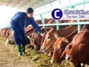 HAGL hướng đến chăn nuôi đàn bò lớn nhất châu Á