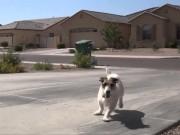 chó thông minh, chó, video