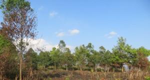 Gần 300 người tàn phá rừng gỗ sao 10 năm tuổi tại Chư Sê