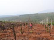 Bí ẩn cây chanh dây và các thương lái Trung Quốc ở Chư Sê