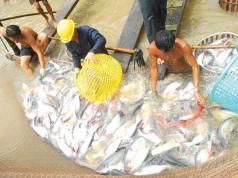 Ẩn họa sau việc cá tra, chanh dây 'sốt giá' bất thường