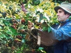 Pierre Morère trong vườn cà phê.