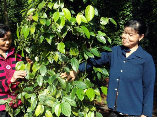 Vườn tiêu của nông dân ở xã Xuân Thọ, huyện Xuân Lộc, tỉnh Đồng Nai. Ảnh: Q.H