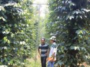Hệ thống tưới tiết kiệm phun mưa trong vườn hồ tiêu
