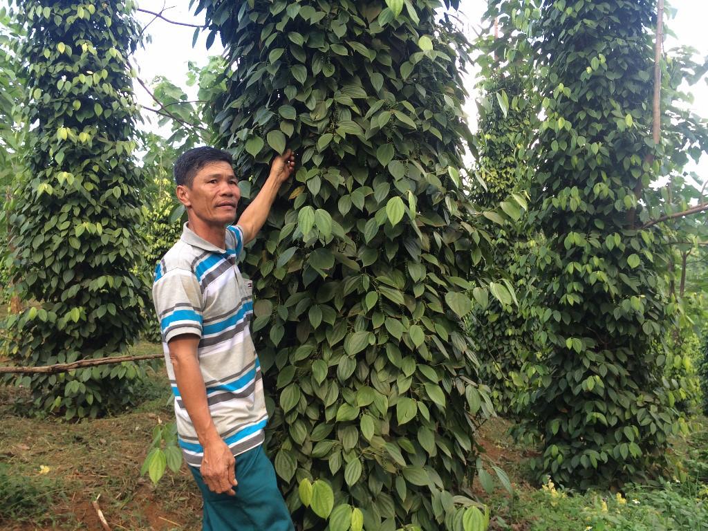 Người trồng 'cây vàng' vất vả canh trộm dịp Tết