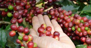 Cà phê robusta ở Tây Nguyên đang dao động ở mức 46.100 - 46.600 đồng/kg. Ảnh minh họa