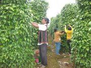Khuyến cáo nông dân Gia Lai mở rộng diện tích trồng tiêu Lốt
