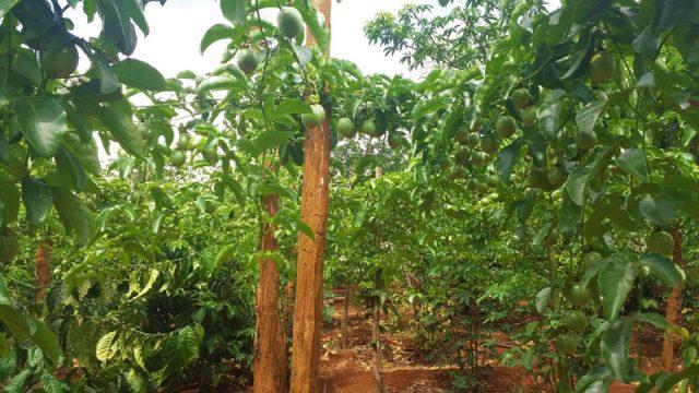 """Đến lượt '#giaicuuchanhday'? Chanh dây được trồng xen với cà phê ở Chư Sê. Hiện giá chanh dây đang lao dốc, khổ nỗi đầu ra lại không có. Vẫn là bệnh """"thấy người ta ăn khoai…""""."""
