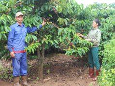 Nông dân Chư Sê vui mừng vì cà phê được mùa, được giá